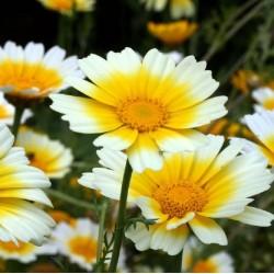 Chrysanthème comestible Bio