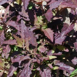 Epazote Oaxaca rouge Bio