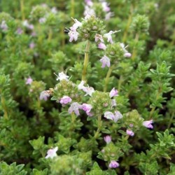Thym odeur de pin Bio
